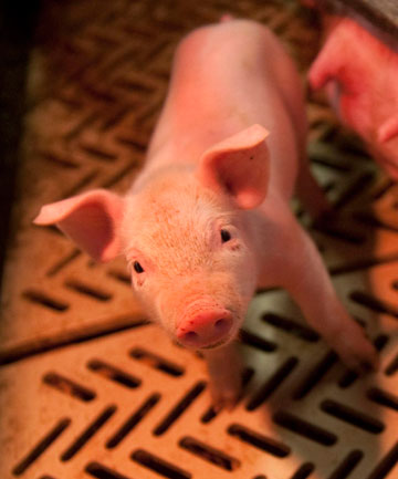 Scientists have a complete picture of domestic pigs' genome creating opportunity in food and pharmaceutical industries.