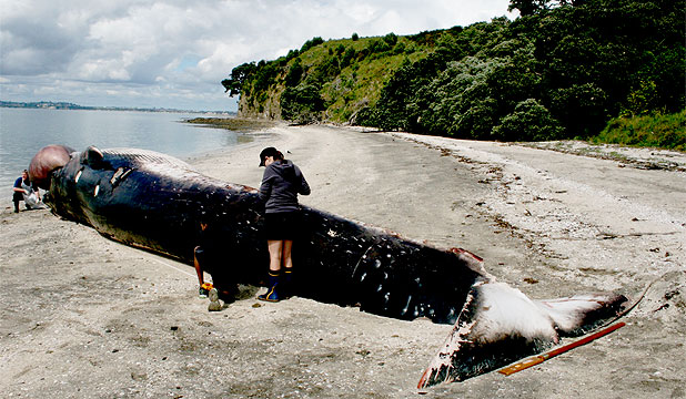 KILLED AT SEA: The Bryde's whale was found dead on Motuihe Island.