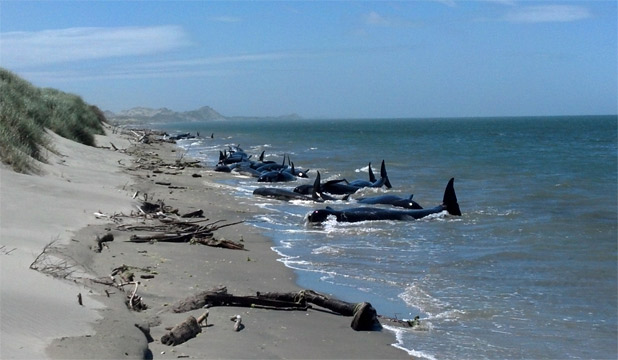 STRANDED: About 30 pilot whales have beached 2 kilometres from the base of Farewell Spit.