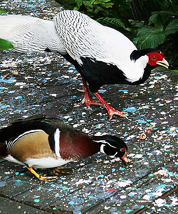 FRIENDS: Silver the pheasant and his pal, the wondrous Carolina Wood Duck.