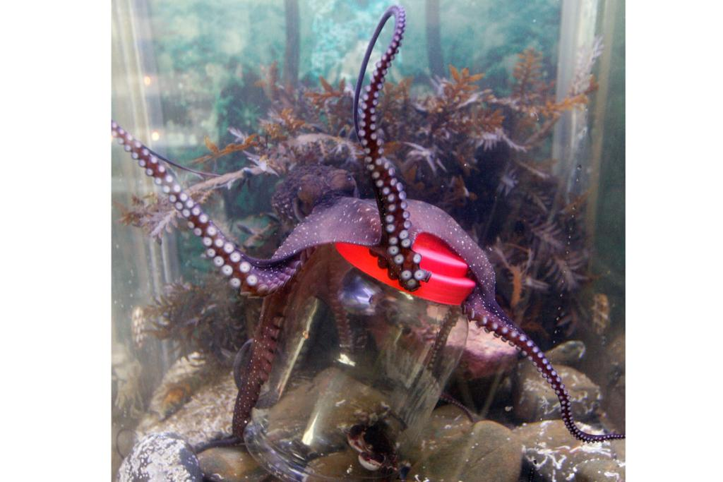 Cassandra the octopus opens a screw top jar at the Island Bay Marine Education Centre.