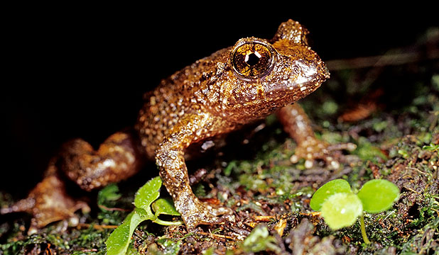 DOME JUMPERS: Hochstetter's frogs have been found alive and well in the Dome Valley and Warkworth.