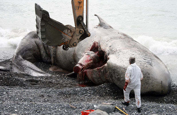 PLUNDERED: A dead sperm whale that washed ashore north of Kaikoura.