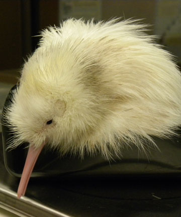 HATCHED: The latest white kiwi chick hatched at Pukaha Mount Bruce . Photo taken when it was just one day old.