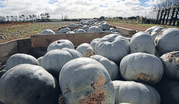 MARKET TAX: Tariffs charged on pumpkins have increased in some overseas markets.
