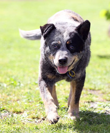Kelly Reardon's blue heeler dog, Tooth