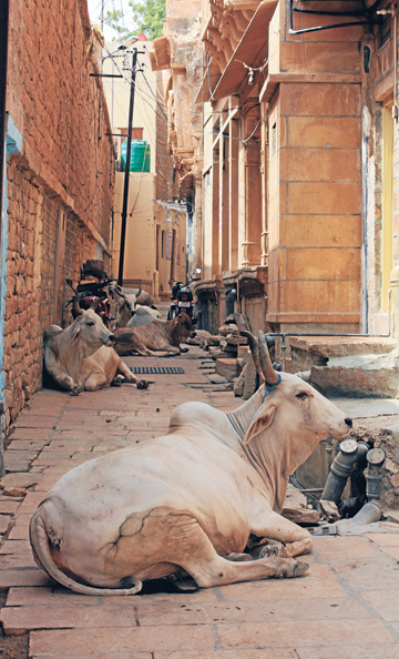 SACRED BEASTS: Cattle find plenty of places to stop and rest in the labyrinthian laneways of Jaisalmer.