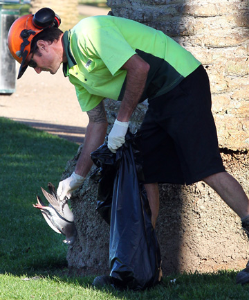 FERAL FIND: A council contractor picks up dead birds after the first night of Hamilton City Council's culling operation.