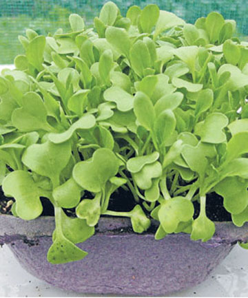 SMALL BUT PERFECTLY FORMED: Microgreens are easy to grow.