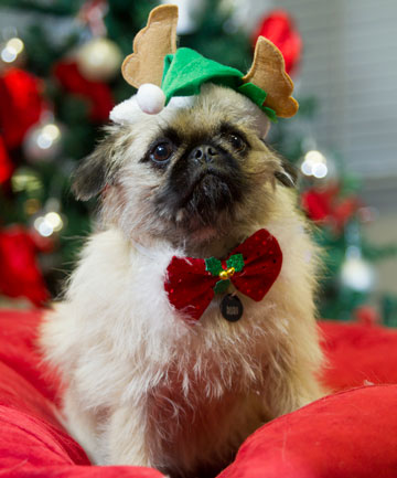 DECK THE PAWS: Ruby the pug/gryffn-cross, will be celebrating her first Christmas this year but will be staying away from the ham after a Waikato vet warned against giving family pets special treats from the table of festive spoils.