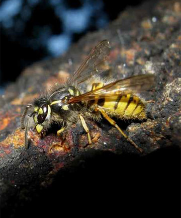 WASP: A police communications spokesman said it was unknown how many times the man had been stung.