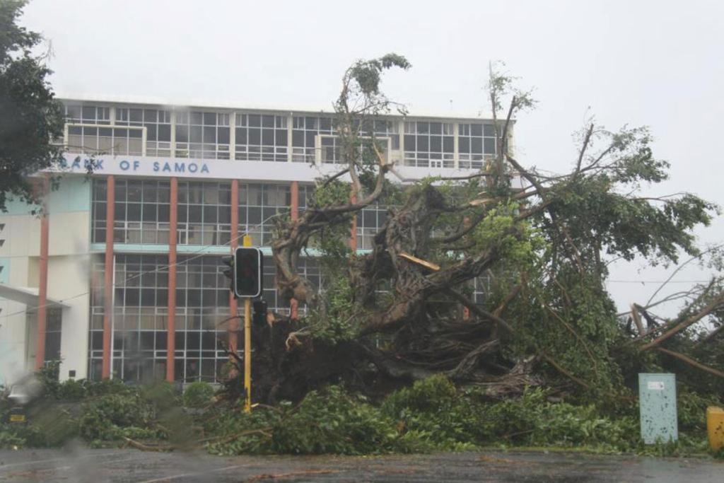 Infront of the Central Bank of Samoa building. All pulu trees in downtown Apia have been uprooted.