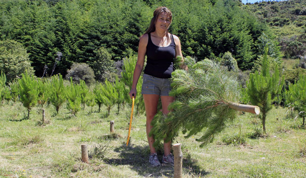 FESTIVE HARVEST: Bettina Romano of St Nick's Christmas Tree Farm has been rushed off her feet selling  Christmas trees.