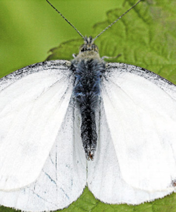 UNWANTED: The male great white butterfly.