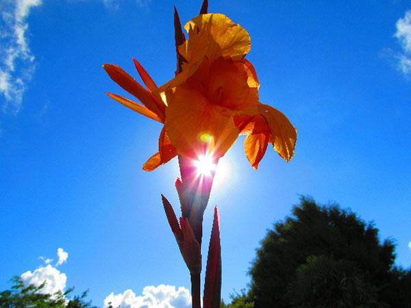 A stunning canna lily catches the summer sun.
