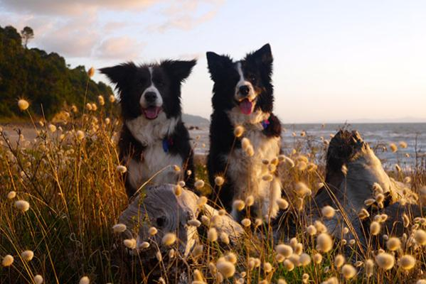 Border collies Asta and Shine take in the warmth of the setting sun at Tapu beach, Coromandel.