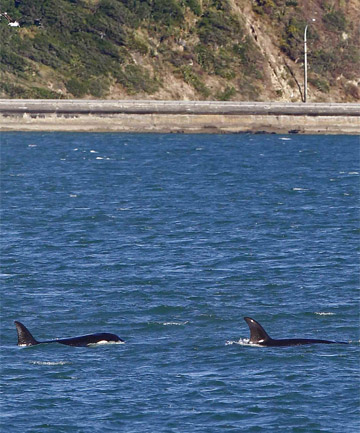 Orca in Shelly Bay