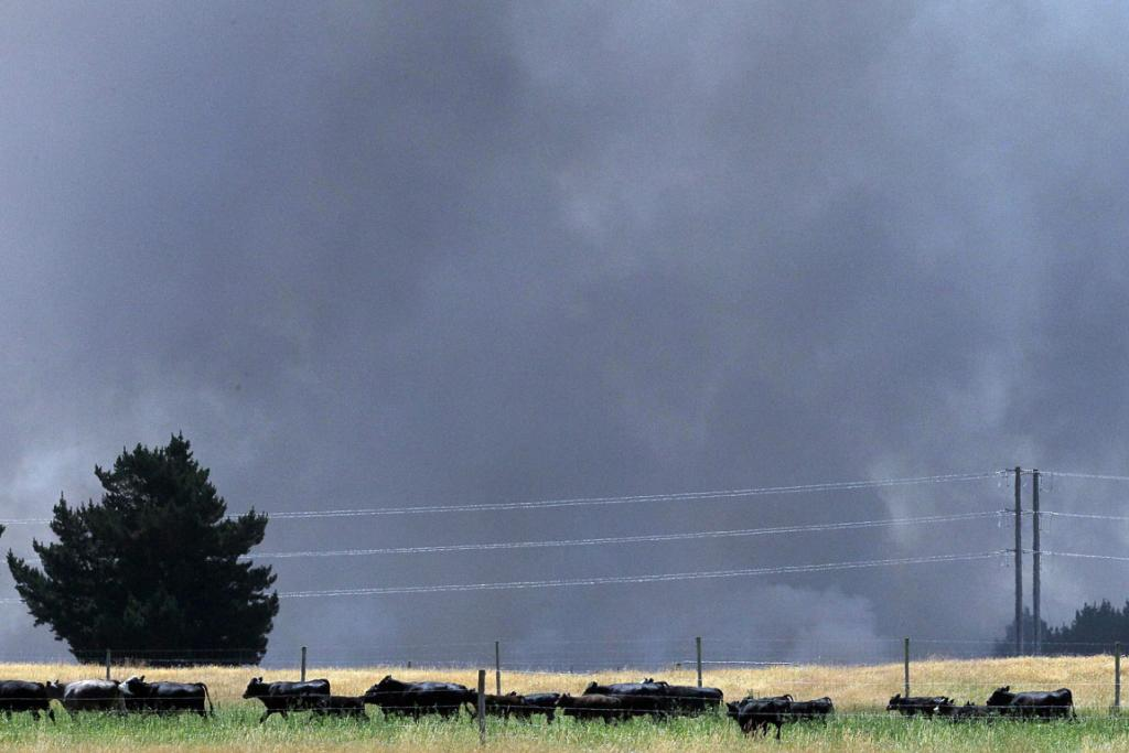 NERVOUS: Cows become unsettled near the West Melton fire.