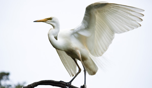 A natural beauty, the kotuku (white heron).