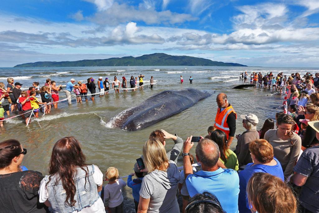 BEACHED: A whale washed up on Paraparaumu Beach outside the Kapiti Boating Club this morning.