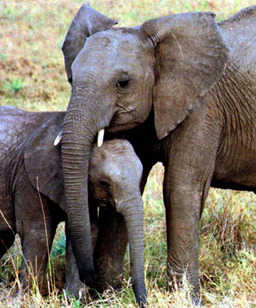 FIGHTING: Elephants in Kenya are believed to be amidst a baby boom.