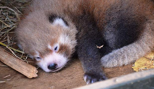 Red Panda, Auckland Zoo