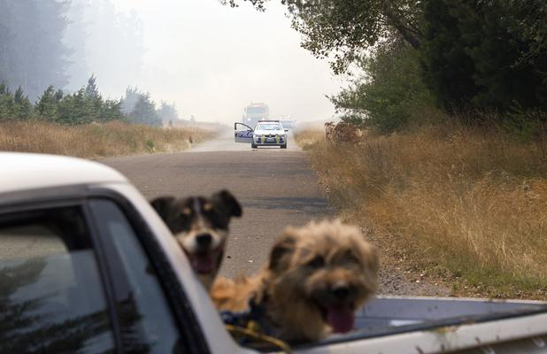 NOT BOTHERED: Dogs are evacuated on the back of a ute as the fire tries to jump across Weedons Ross Rd.
