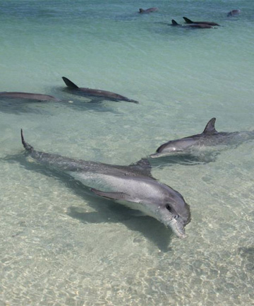 SLAUGHTER: Bottlenose dolphins have been killed in the dozens in the Solomons.
