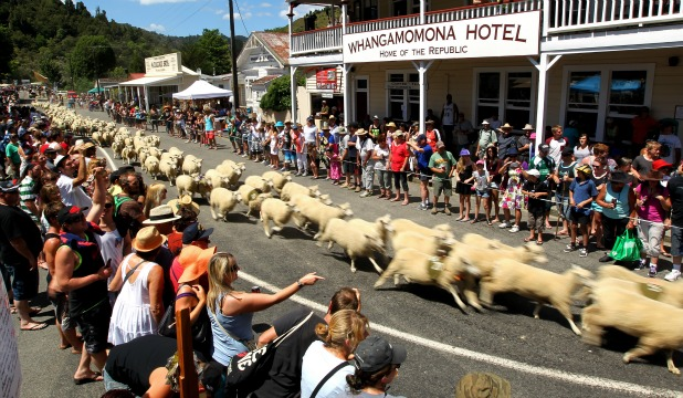 WOOLLY RACES: A truck load of sheep tear down the main street of Whangamomona during '''the running of the sheep'' at Republic Day on Saturday.