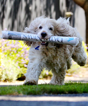 'GET THE PAPER': On those words Millie is off like a rocket each morning in a game of fetch.