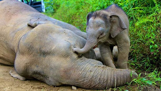 A pygmy elephant calf walks next to its dead mother in Gunung Rara Forest Reserve.