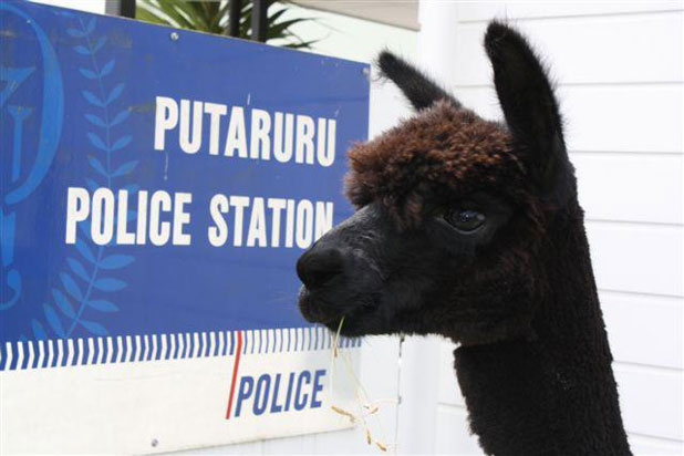 FOUND: An alpaca went missing from a property in Kihikihi and it was later found by police near Arapuni.