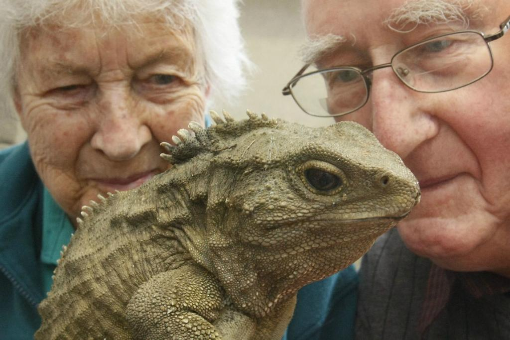 A selection of images of Henry the tuatara, as he's made headlines in the news.