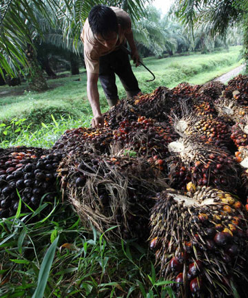 UNSUSTAINABLE?: A worker piles up palm fruits at PT Perkebunan Nusantara VIII in Cimulang, Bogor, West Java province.