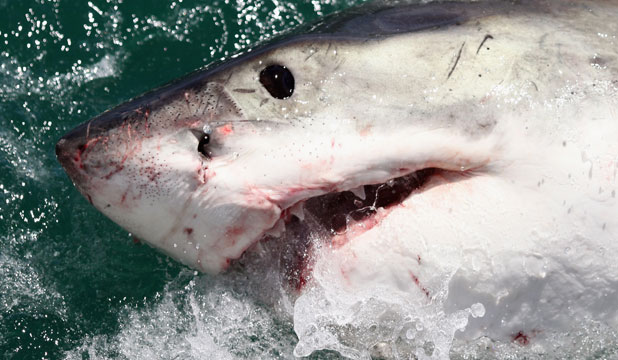 A great white shark. Let's not be too judgemental about its motives
