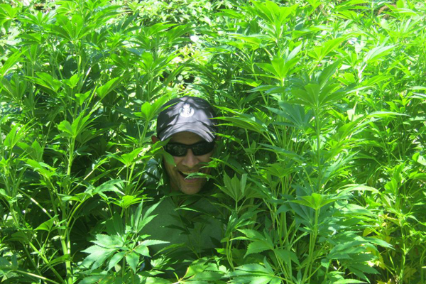 Hello officer: Detective Constable Doug Nuku of Kapiti Police peers out from cannabis plants found beside a river in Reikorangi.