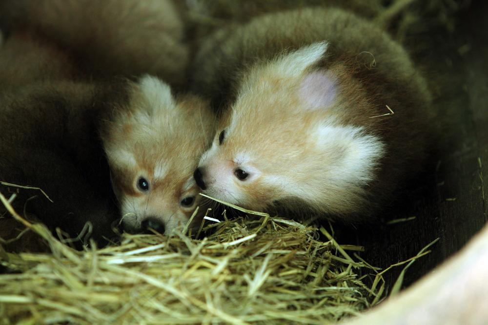Topping out the cute factor at Hamilton Zoo are three red panda triplets that were born late last year.