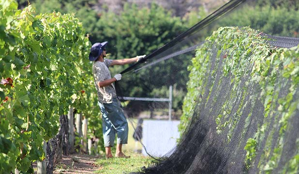 WORKING HARD: It's business as usual for Te Motu Vineyard workers, out netting the vines.