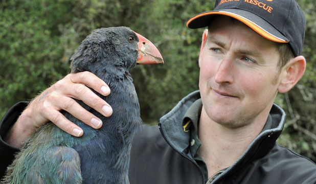 MOVING ON: Department of Conservation takahe relationship manager Phil Marsh transfers Tawa, a 16-month-old female takahe, from the Te Anau Wildlife Park to Burwood Bush to find a mate.