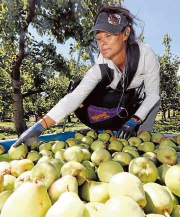 BOUNTIFUL: Cas Round picks comice pears at Hoddy's Orchard, where she had worked for more than 10 years. A trained graphic designer, she switched to orchard work because she likes the lifestyle.