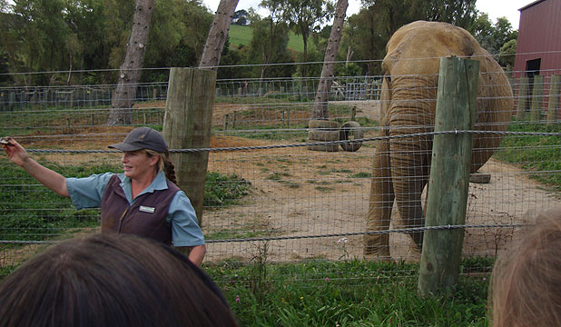 HOME NEEDED: Mila the elephant, shown with keeper Helen Schofield who was crushed to death last year. Zoo officials are still deciding which US facility to send Mila to.