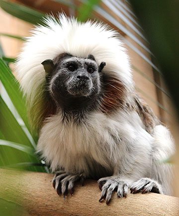 BUTTERFLY NEIGHBOURS: Franklin Zoo's cotton-top tamarins have found new homes at Butterfly Creek.
