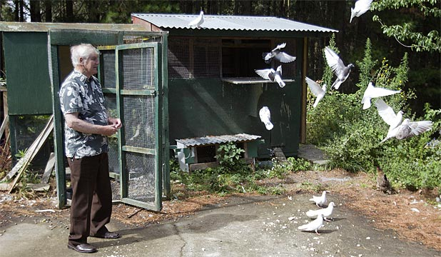 FEEDING TIME: Aokautere man Con Vickers feeds a few of his white homing pigeons.