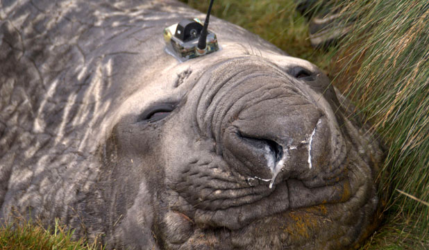 Elephant seals had head sensors attached that transmitted data via satellite from waters unreachable by ship.
