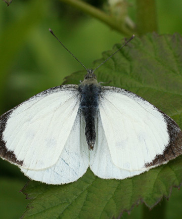 great white butterly