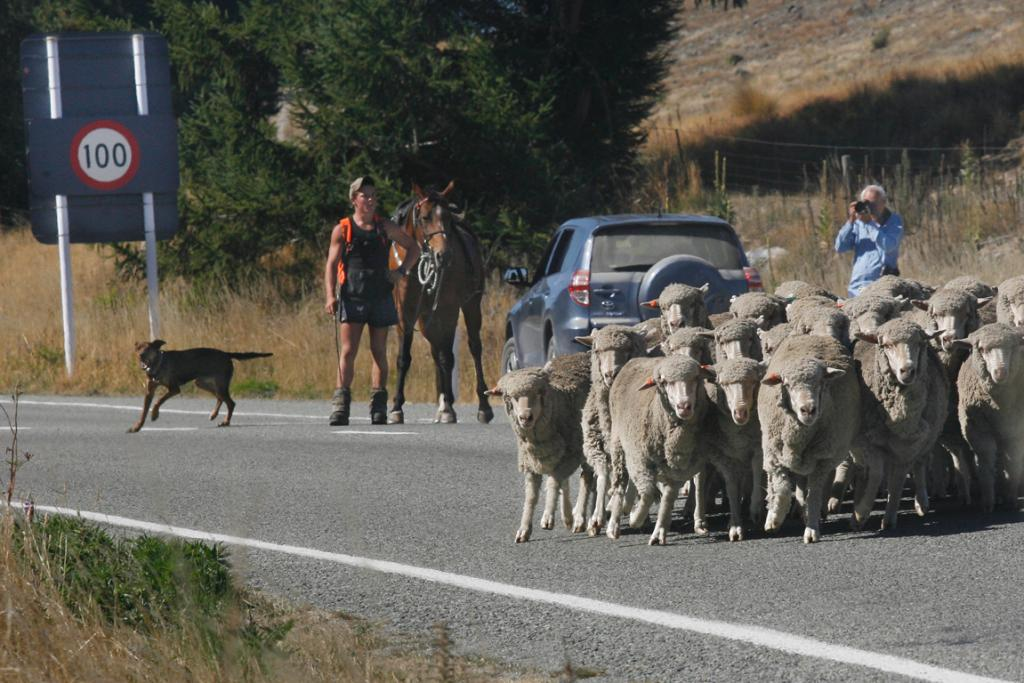 TRAFFIC STOPPER: A flock of sheep being droved to saleyards in Tekapo spill out onto the main road.