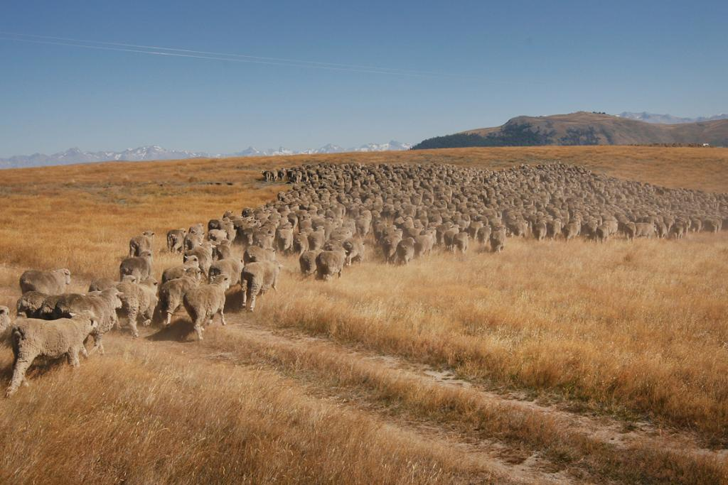 LONG TREK: The flock of 1800 ewes were droved 50km over three days from Streamlands Station to the Tekapo salesyard.