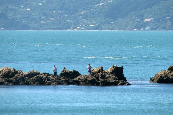 dolphins in wellington 1