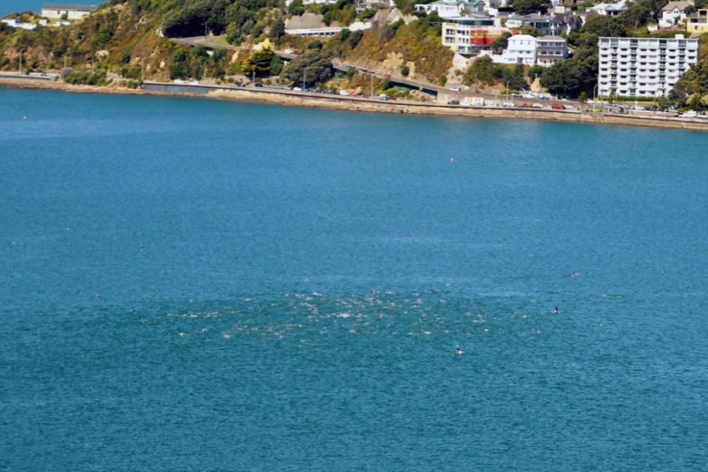 A large pod of dolphins in Wellington harbour.