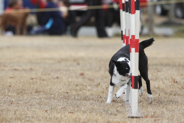A competitor at the Dog Agility and Obedience Championship Show hosted by the Canterbury Canine Obedience Club at Canterbury Park over the weekend.